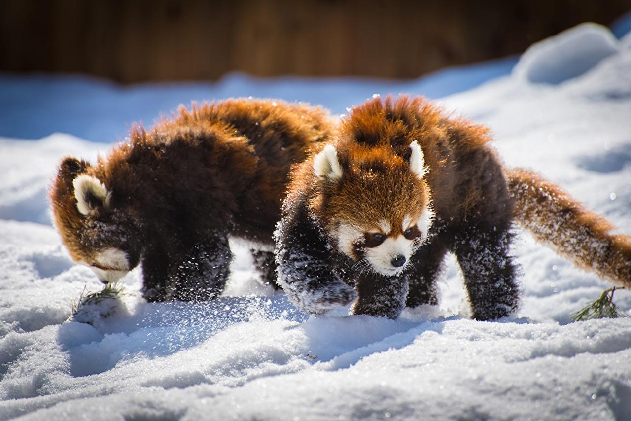 Картинка Малая панда две снегу Животные 2 два Двое вдвоем Снег снега снеге животное