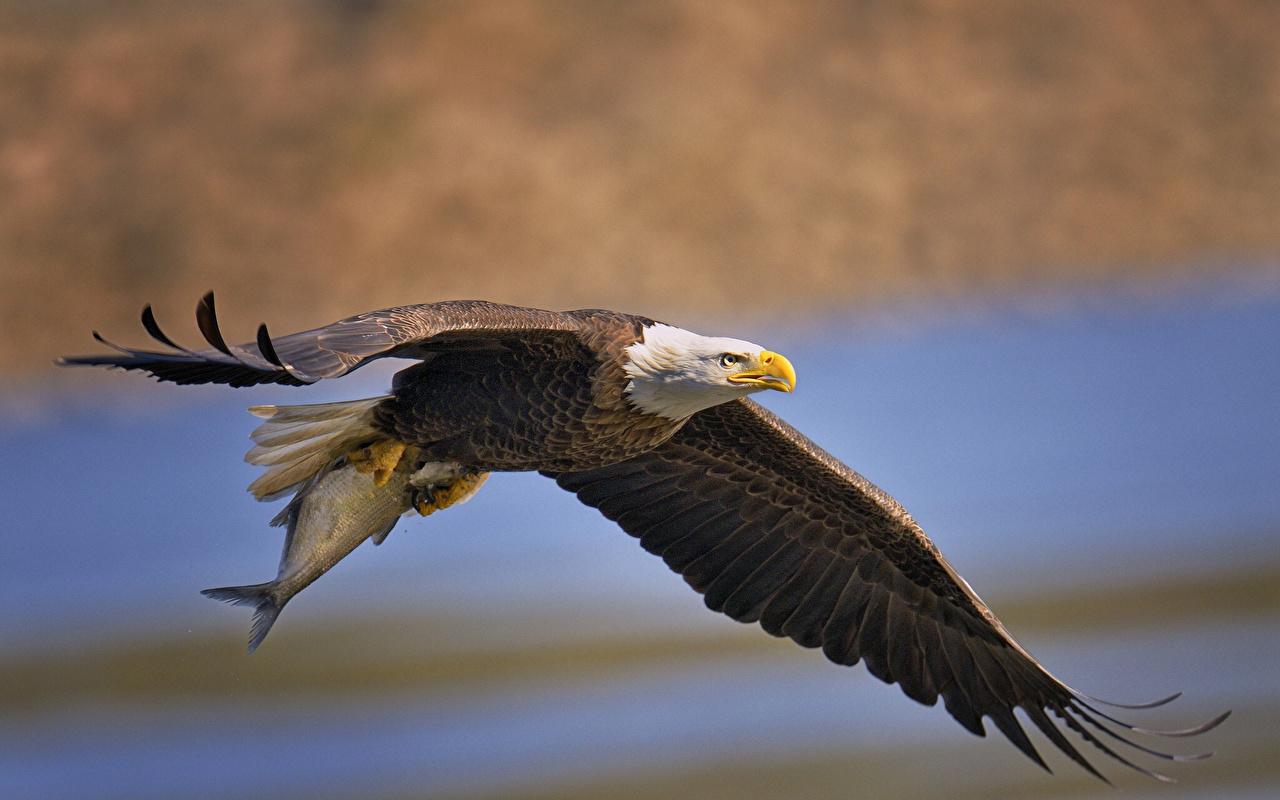 Фотография Белоголовый орлан Птицы Ястреб животное птица Животные