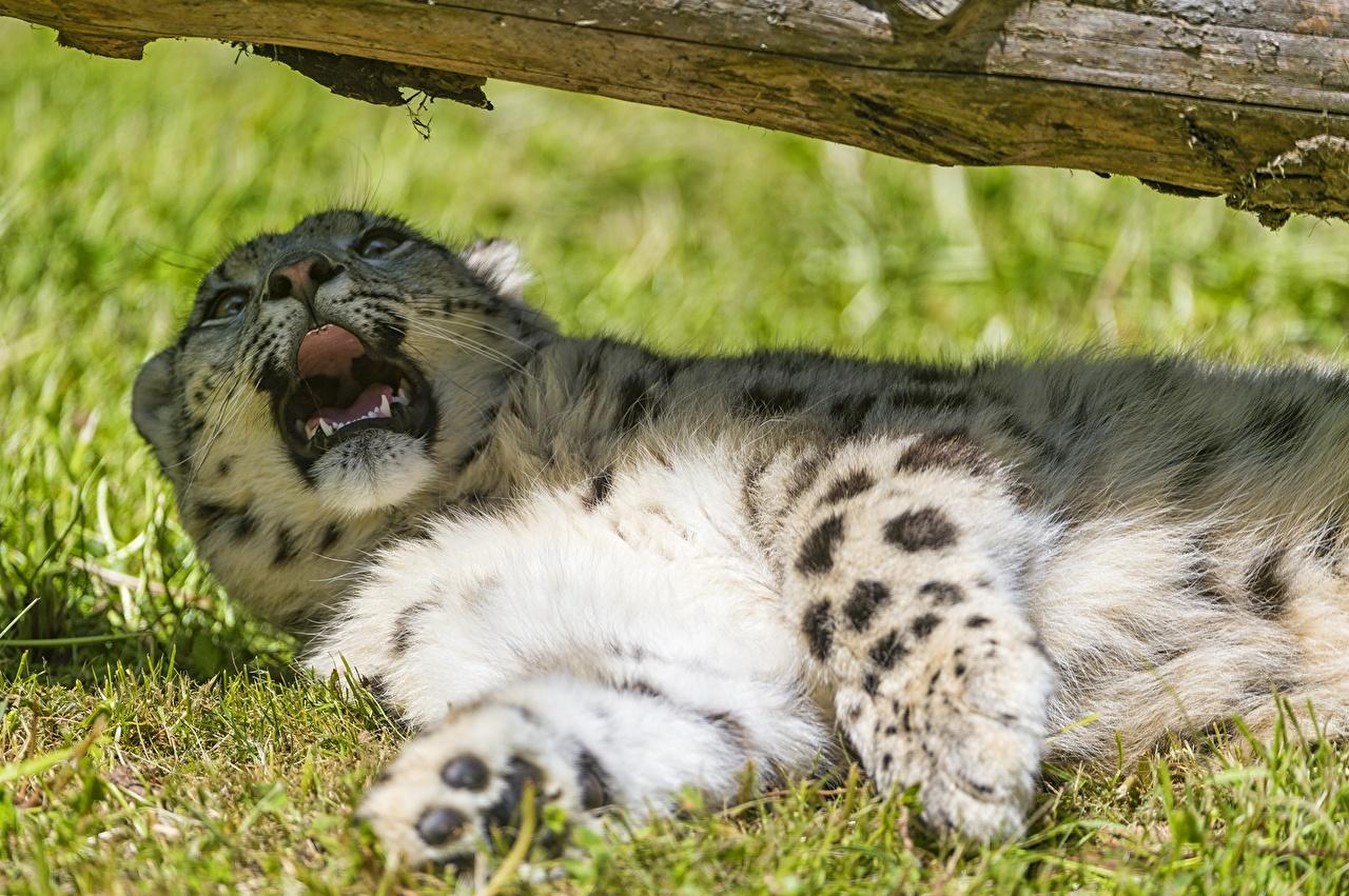 Фото Ирбис Большие кошки Животные Барсы животное