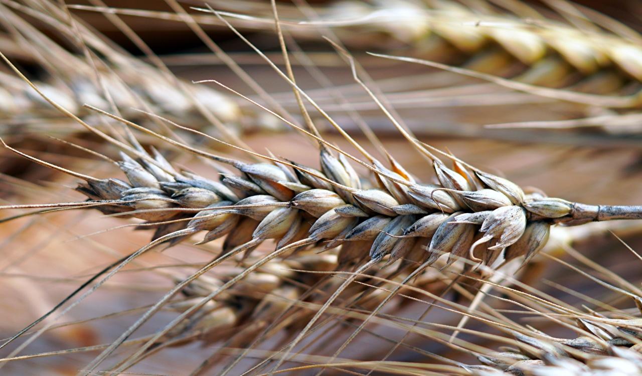 Картинка Размытый фон Пшеница колосок вблизи боке Колос колоски колосья Крупным планом