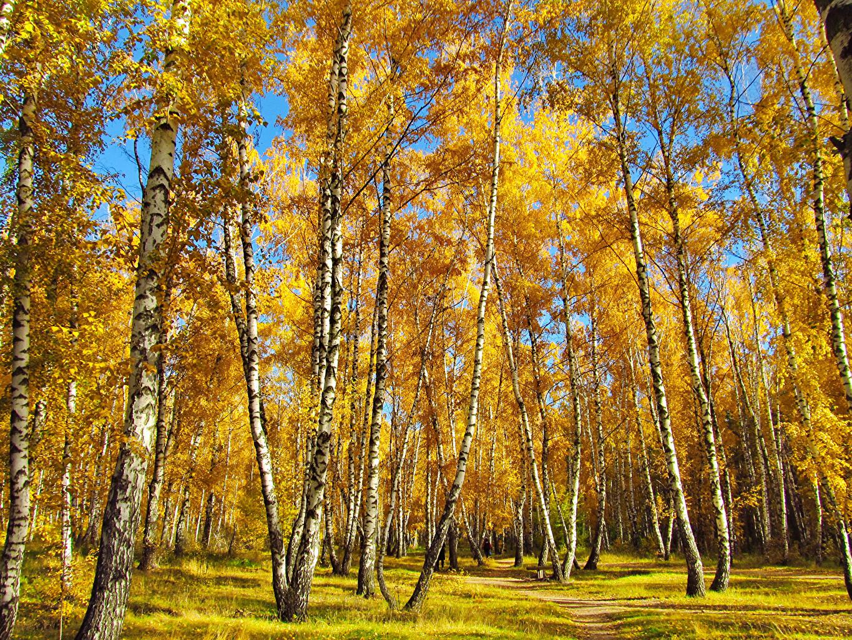 Обои березы, осень. Природа foto 16