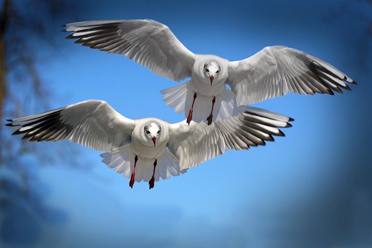 Картинка Птицы Чайка Крылья Двое летящий Животные 2 вдвоем Полет