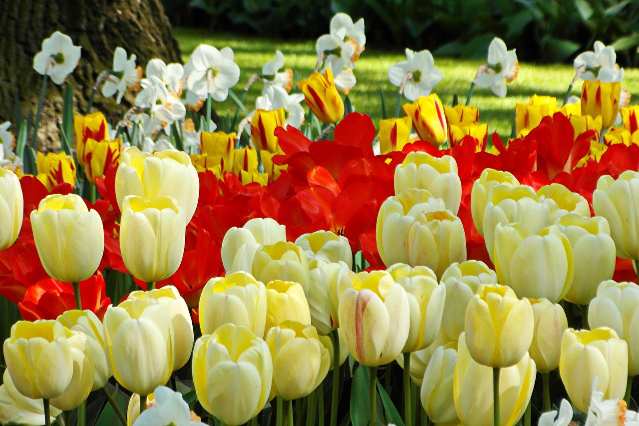 Фото Тюльпаны Цветы Нарциссы Много вблизи тюльпан цветок Крупным планом
