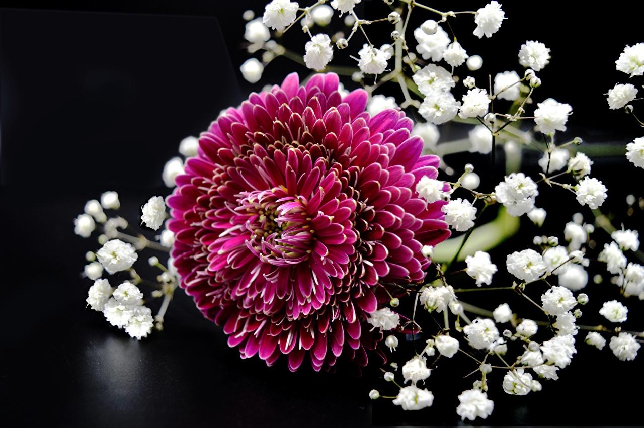 Фото красная цветок Хризантемы Крупным планом Красный красные красных Цветы вблизи