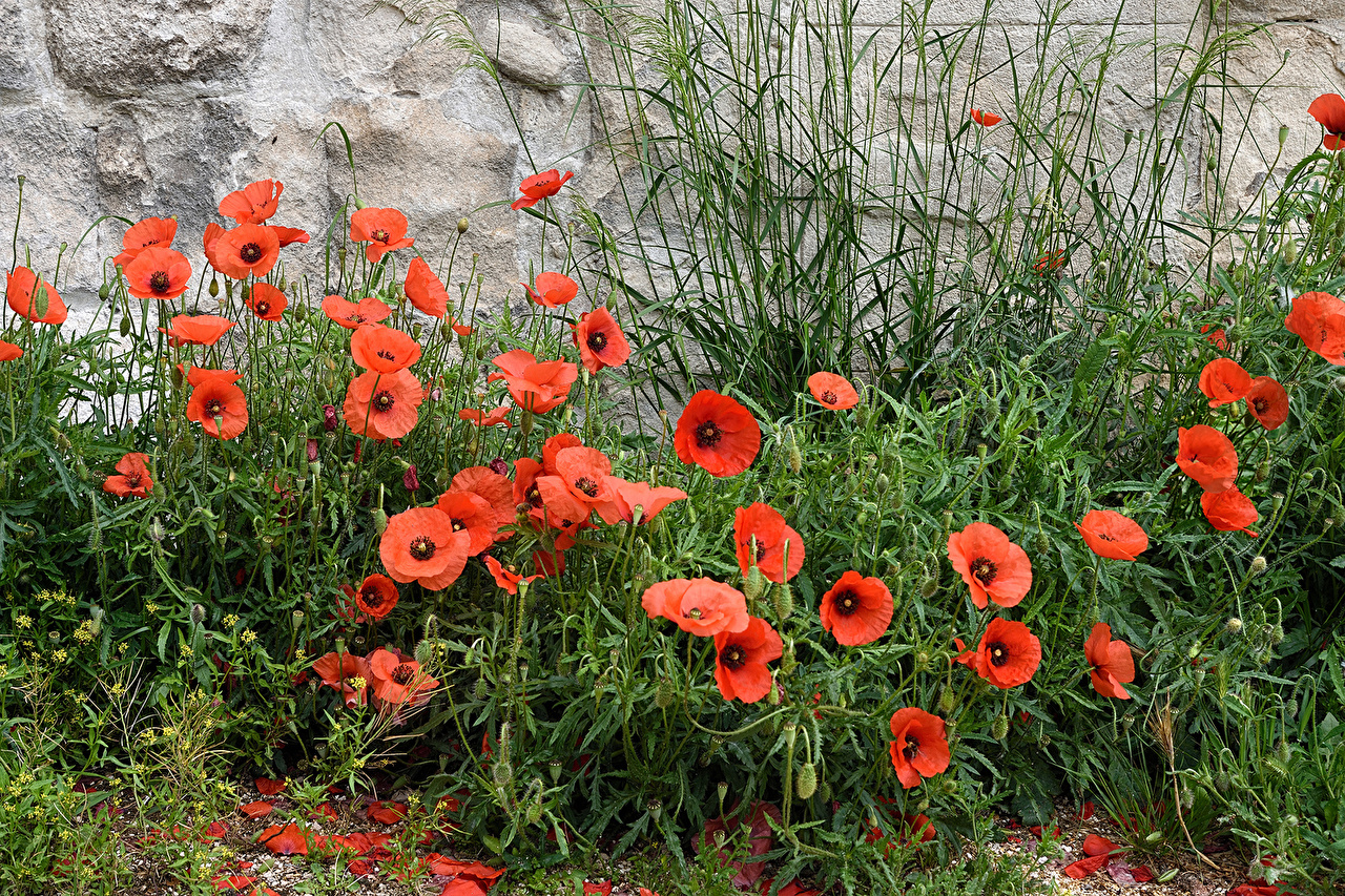 Фото мак цветок Много Маки Цветы