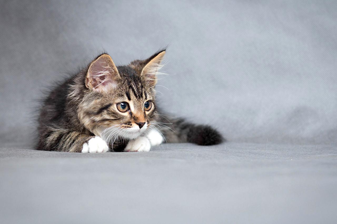 Картинки котенка коты Животные Серый фон котят Котята котенок кот кошка Кошки животное сером фоне