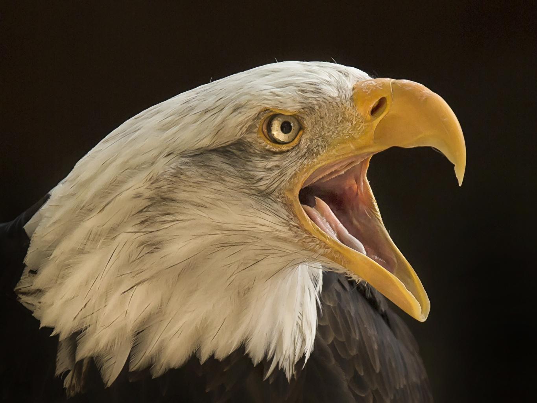 Фотография орел птица Клюв Голова Животные Крупным планом Орлы Птицы вблизи головы животное