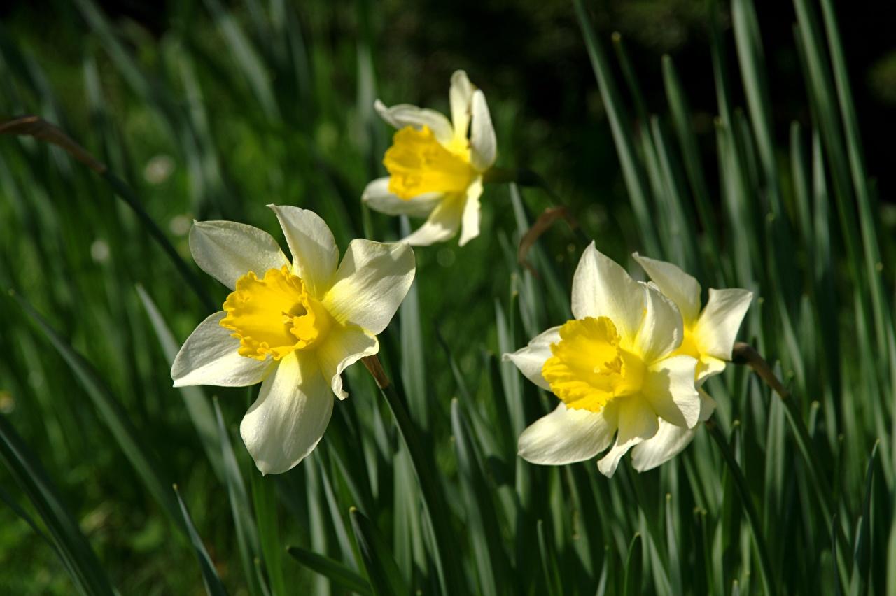 Картинки Размытый фон Цветы Нарциссы Крупным планом боке цветок вблизи