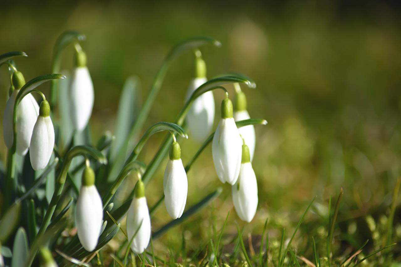 Картинки Размытый фон белые Цветы Подснежники Крупным планом боке белая Белый белых цветок Галантус вблизи