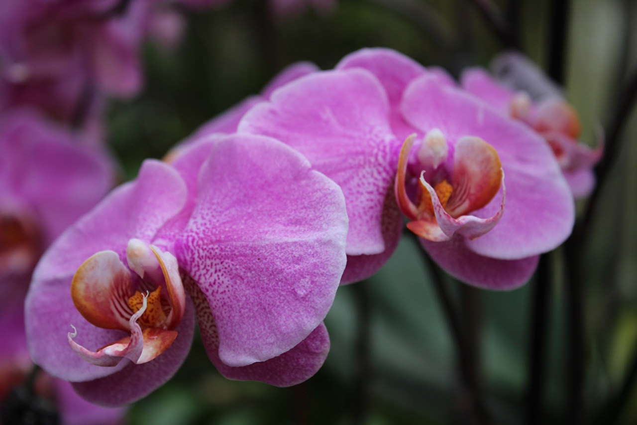 Картинки Размытый фон орхидея цветок Крупным планом боке Орхидеи Цветы вблизи