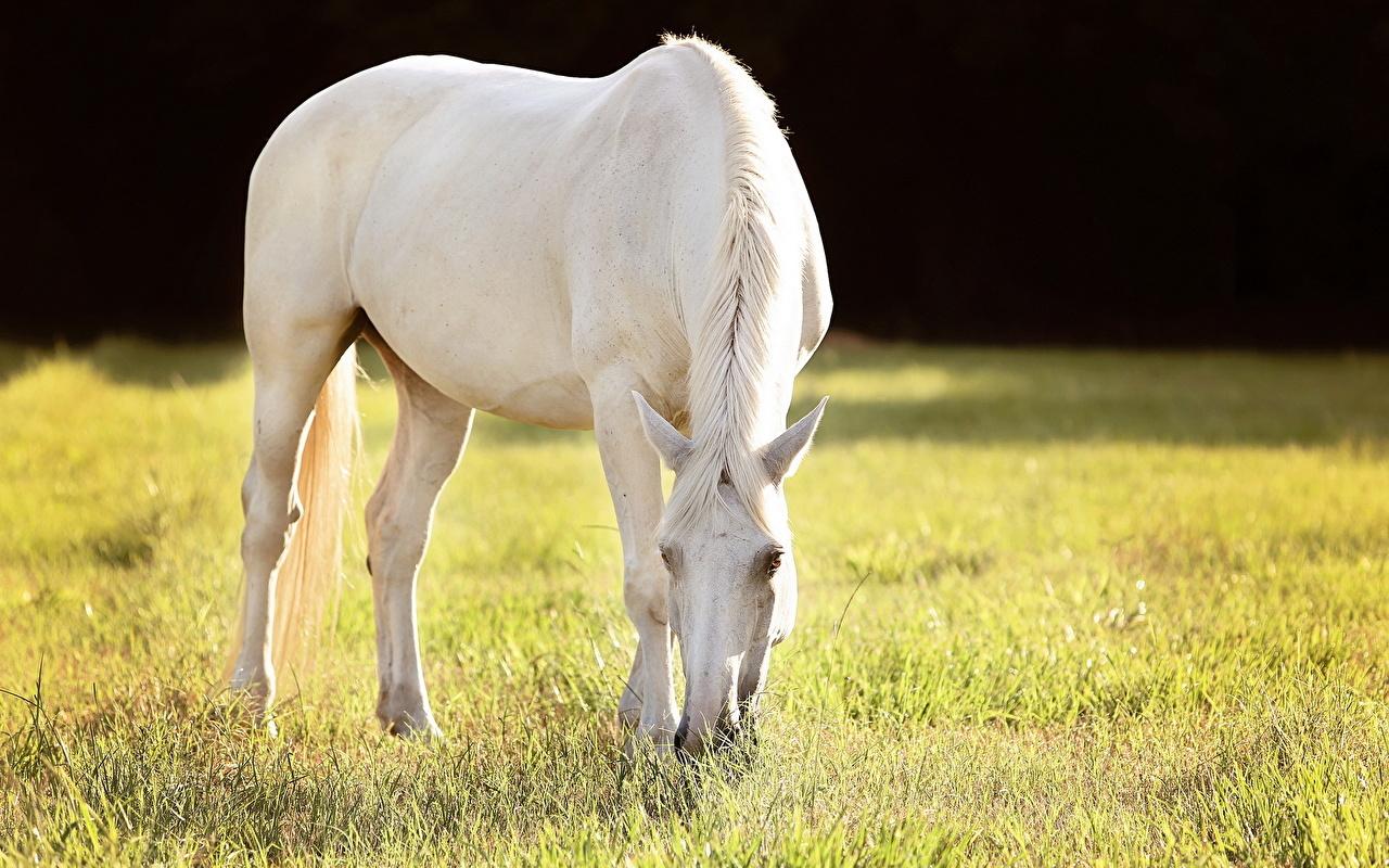 Обои для рабочего стола лошадь Белый траве Животные Лошади белая белые белых Трава животное