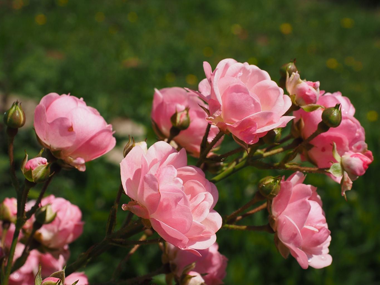 Обои для рабочего стола боке роза розовые Цветы Бутон Крупным планом Размытый фон Розы розовая Розовый розовых цветок вблизи