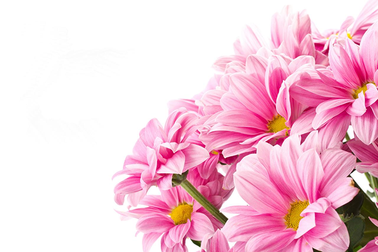 Фотографии розовых цветок Хризантемы Крупным планом розовая розовые Розовый Цветы вблизи