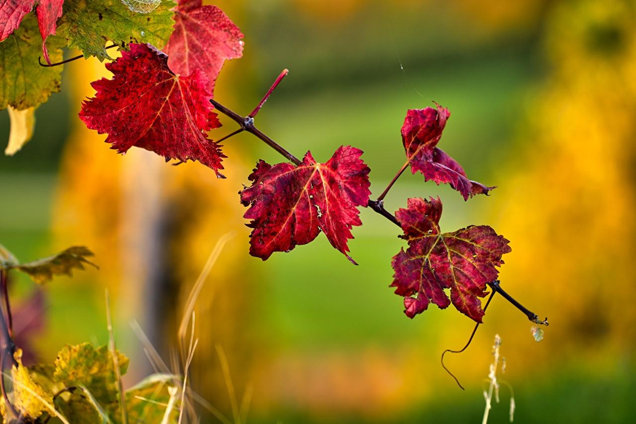 Картинки Листва боке осенние Красный Природа Ветки лист Листья Размытый фон Осень красная красные красных ветвь ветка на ветке