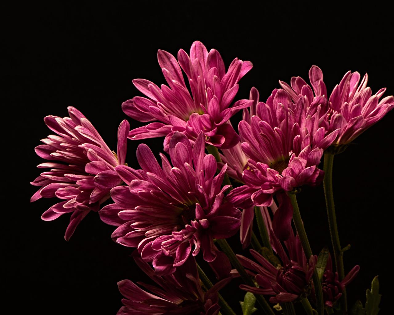 Обои для рабочего стола розовые цветок Хризантемы вблизи на черном фоне розовых Розовый розовая Цветы Черный фон Крупным планом