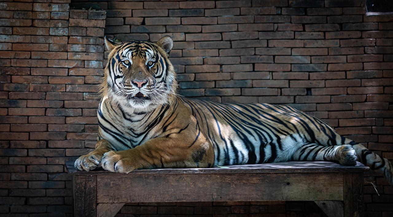 Фотография Тигры лежат Стол стены животное тигр лежа Лежит лежачие стене Стена стола столы стенка Животные