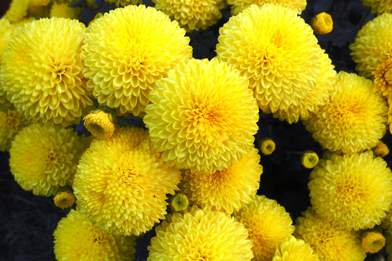 Фотография Желтый Цветы Хризантемы Крупным планом желтая желтые желтых цветок вблизи