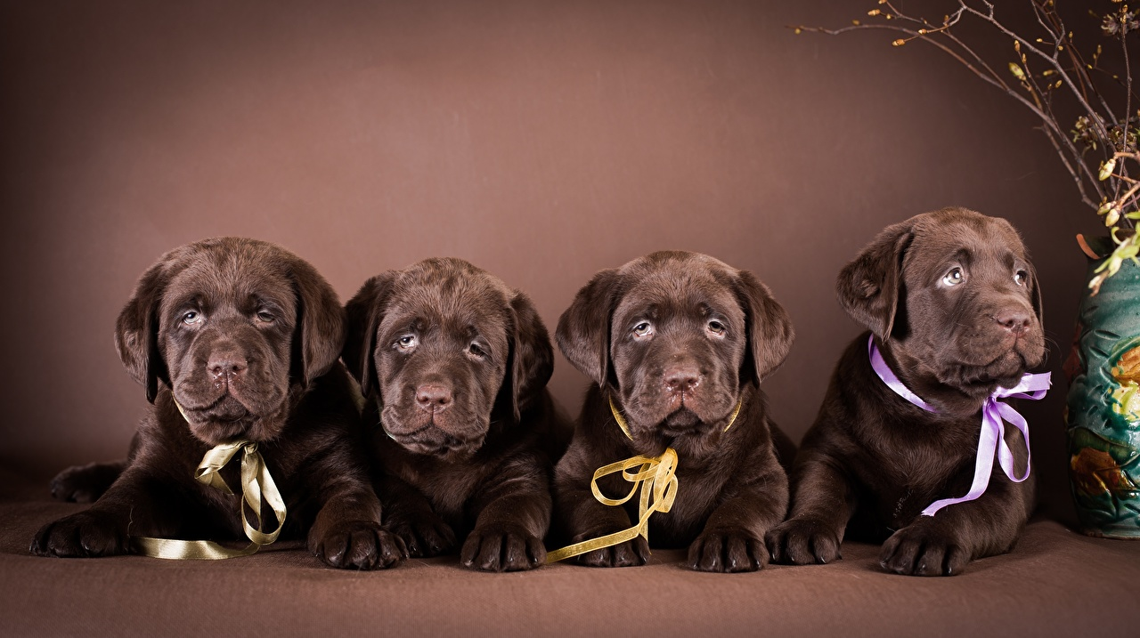 Фото Щенок Лабрадор-ретривер Собаки Лежит Четыре 4 животное щенки щенка щенков собака лежа лежат лежачие Животные