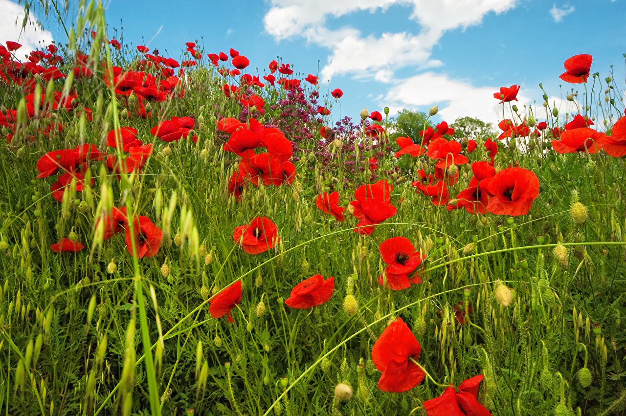 Фотография мак Поля Цветы Маки цветок