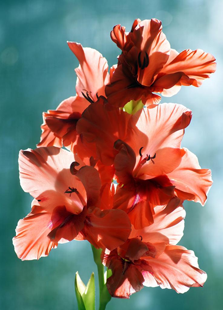 Фотография Цветы Гладиолусы Крупным планом вблизи