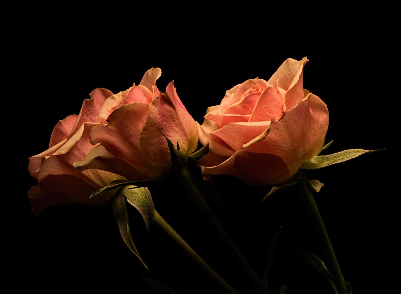 Обои для рабочего стола роза цветок втроем вблизи на черном фоне Розы Цветы три Трое 3 Черный фон Крупным планом