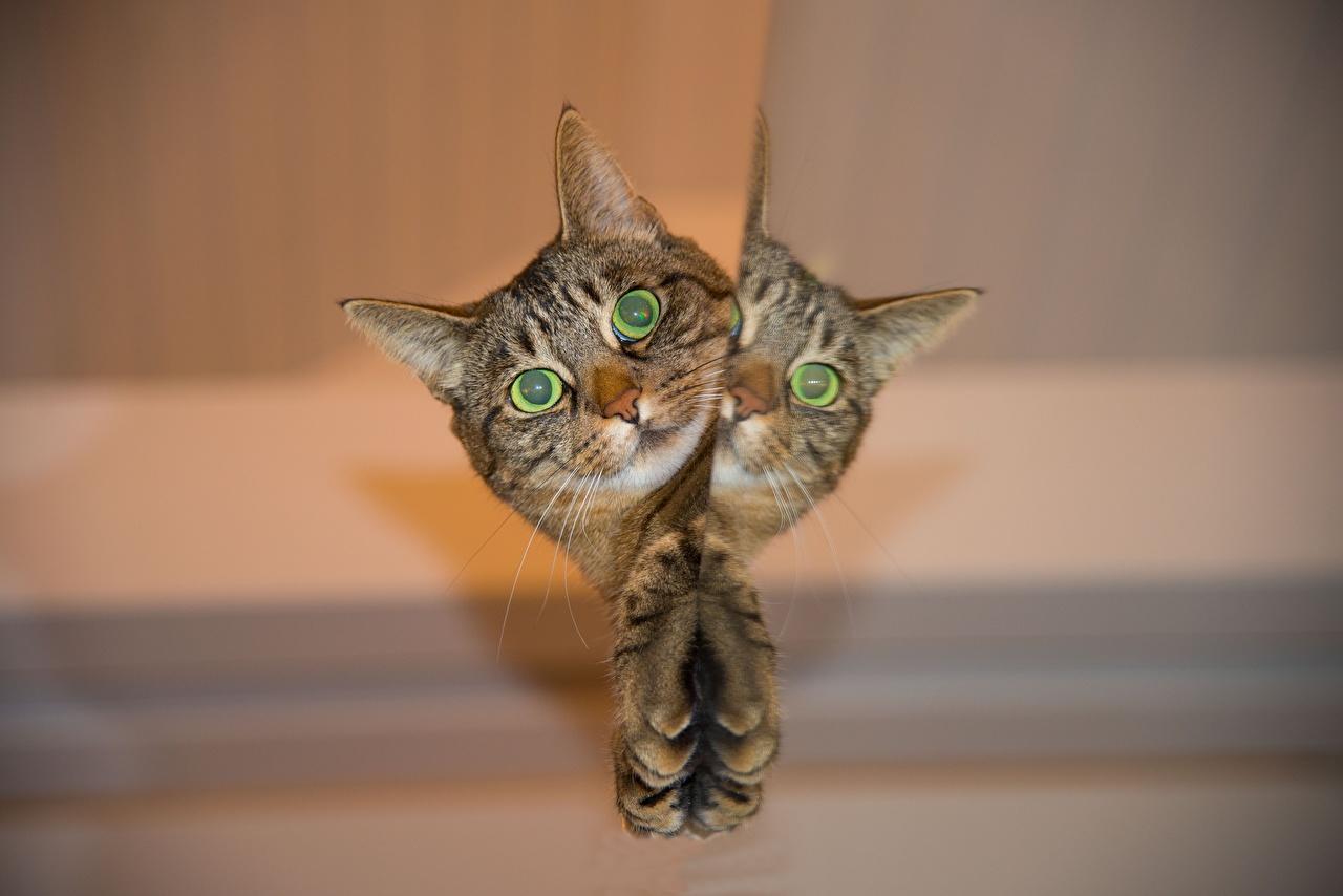 Картинка коты Лапы Отражение головы смотрит Животные кот Кошки кошка лап отражении отражается Взгляд Голова смотрят животное