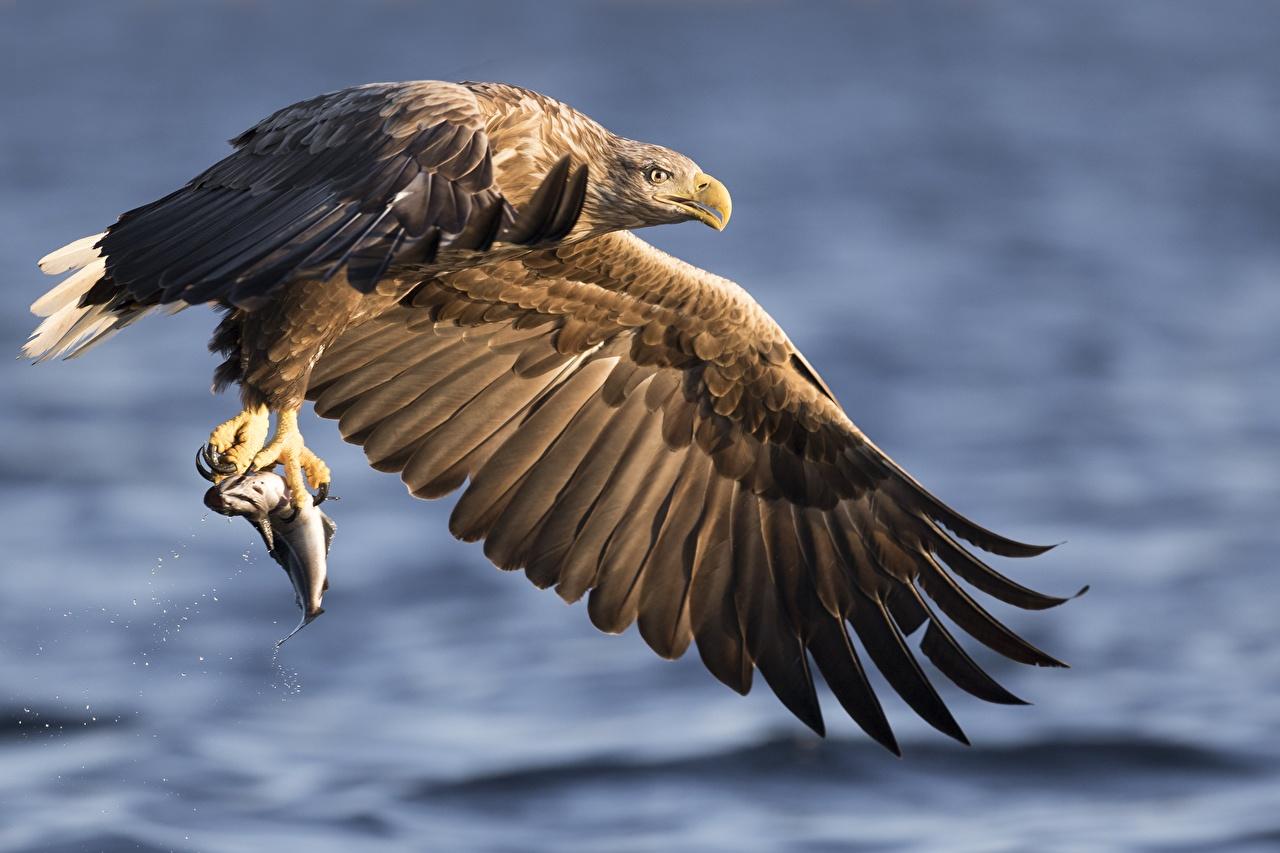 Фотографии Орлы Рыбы Крылья охотится боке животное орел Охота охоте Размытый фон Животные