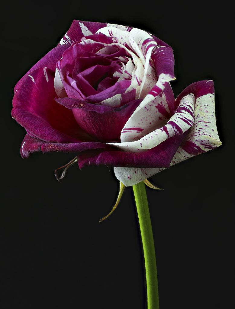 Картинки Розы Цветы вблизи Черный фон Крупным планом