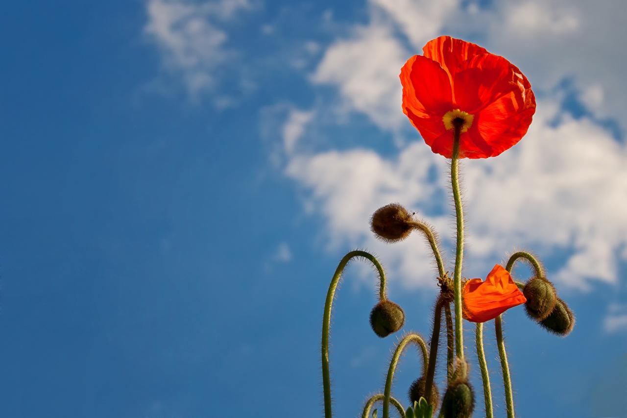Картинка Красный мак цветок Бутон Крупным планом красная красные красных Маки Цветы вблизи