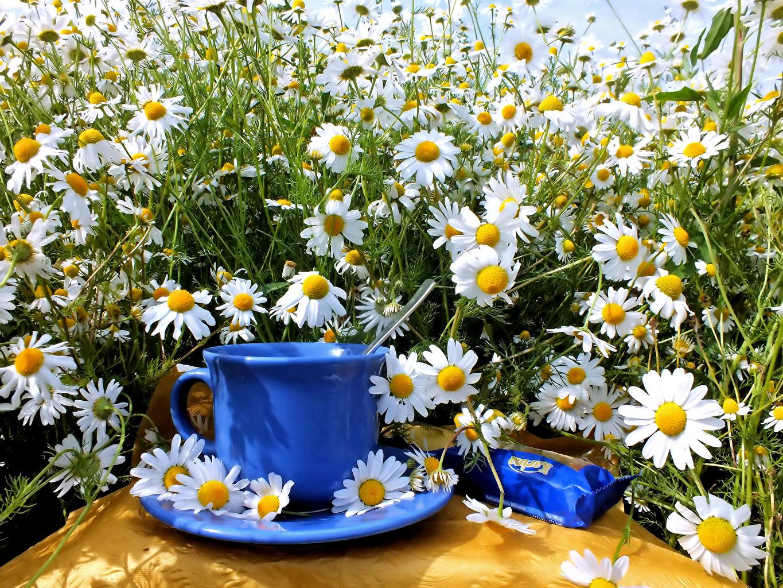 Обои Цветы Ромашки Чашка Много Натюрморт