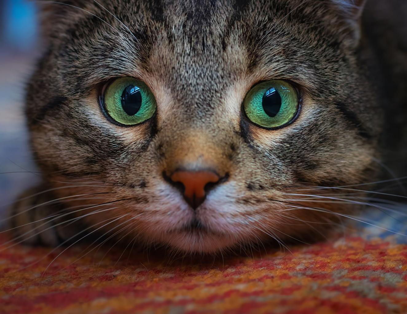 Обои для рабочего стола кошка Глаза Усы Вибриссы Морда Взгляд Животные кот коты Кошки морды смотрит смотрят животное