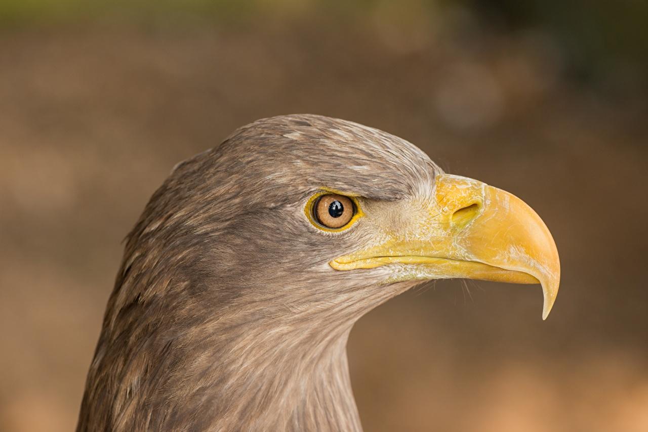 Картинки орел Птицы Размытый фон Клюв Сбоку вблизи Голова животное Орлы птица боке головы Животные Крупным планом