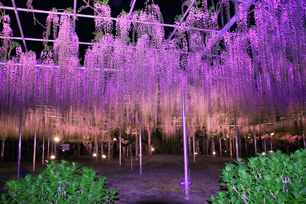Фото Ashikaga Flower Park Природа парк Цветы Глициния Ночь Много Парки цветок Вистерия ночью в ночи Ночные