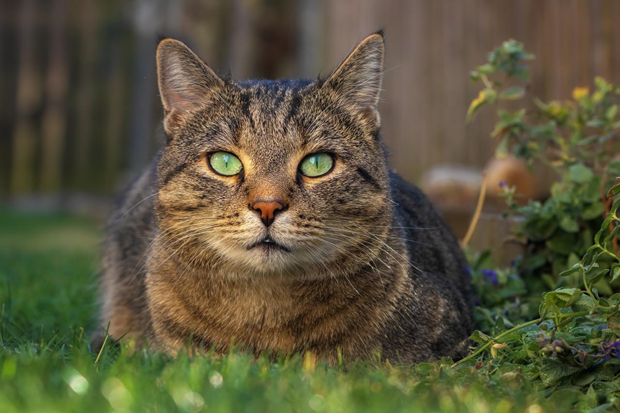 Обои Кошки Морда смотрит Животные Коты Взгляд
