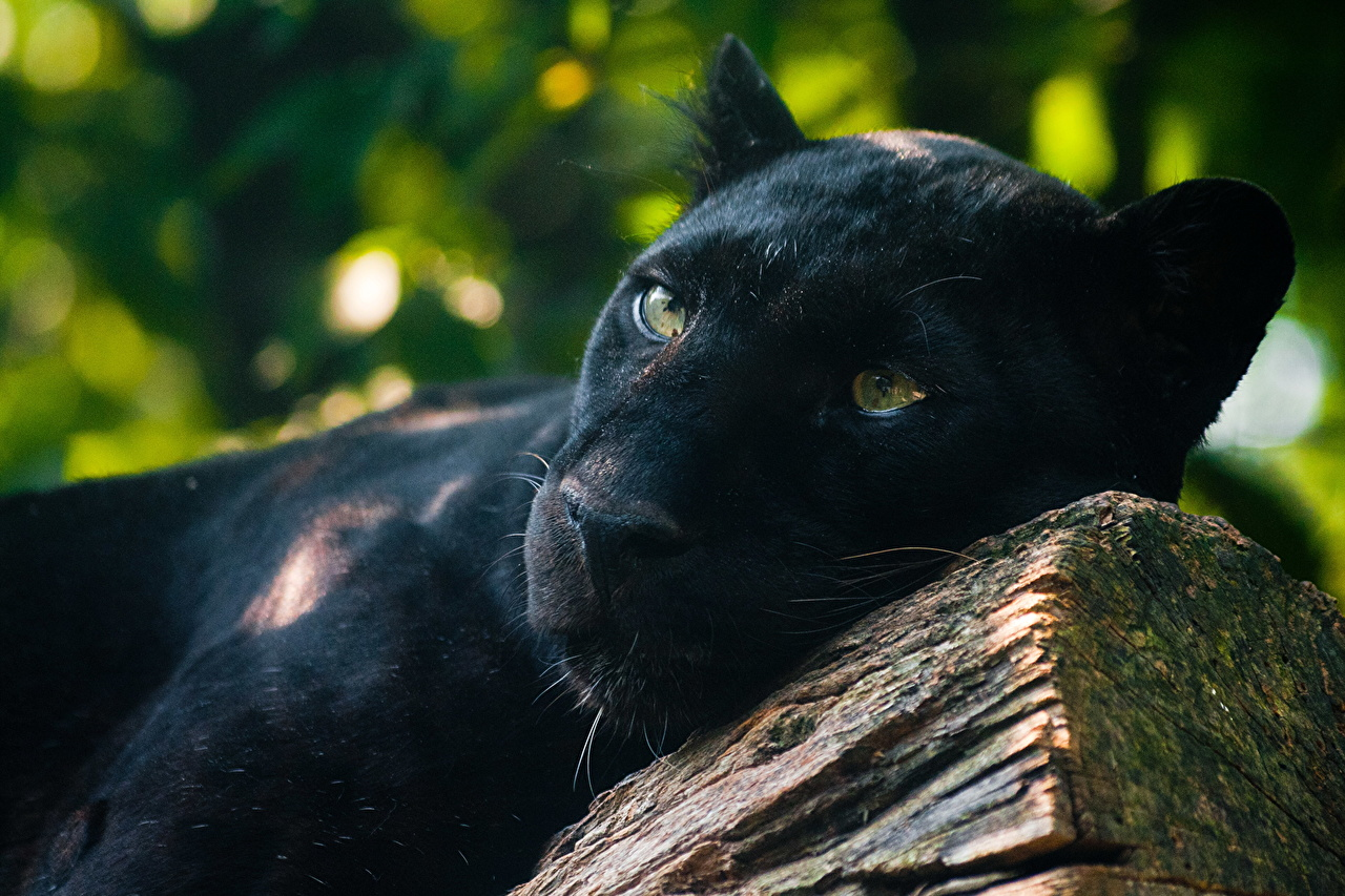 meaning in the panther by rainier