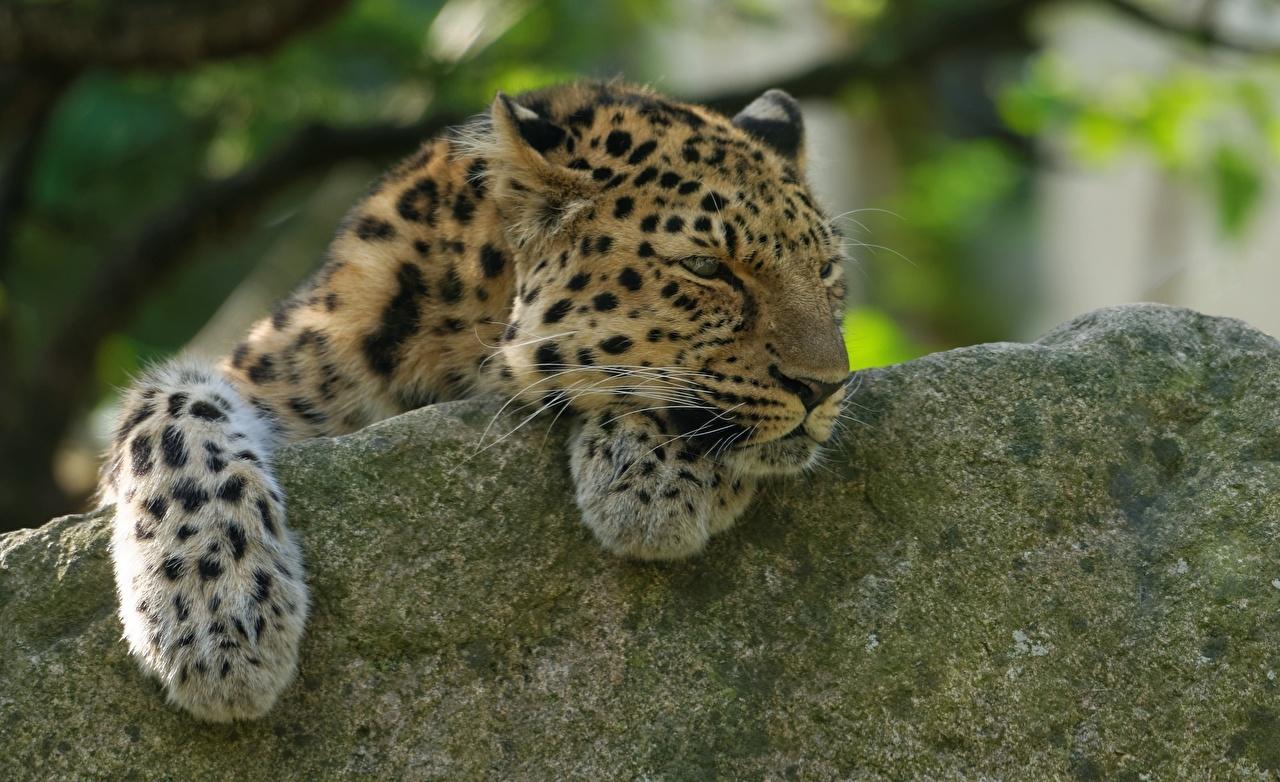 Картинки Леопарды Большие кошки Камень животное леопард Камни Животные