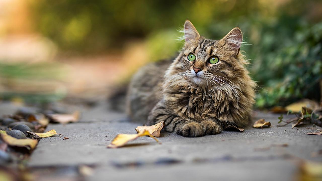Фото коты боке Взгляд животное кот кошка Кошки Размытый фон смотрит смотрят Животные