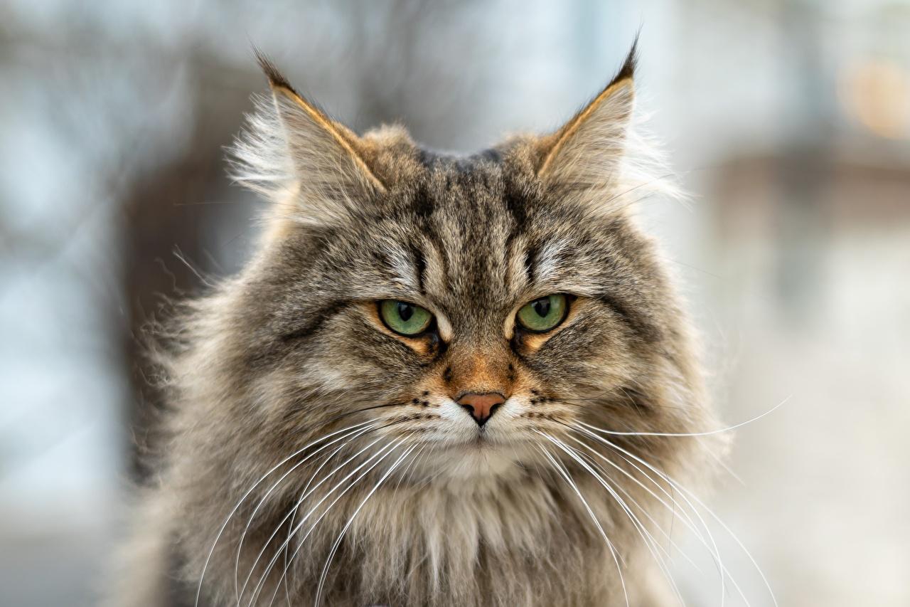 Картинка Кошки Siberian cat Пушистый Усы Вибриссы Морда Взгляд Животные кот коты кошка пушистая пушистые морды смотрит смотрят животное