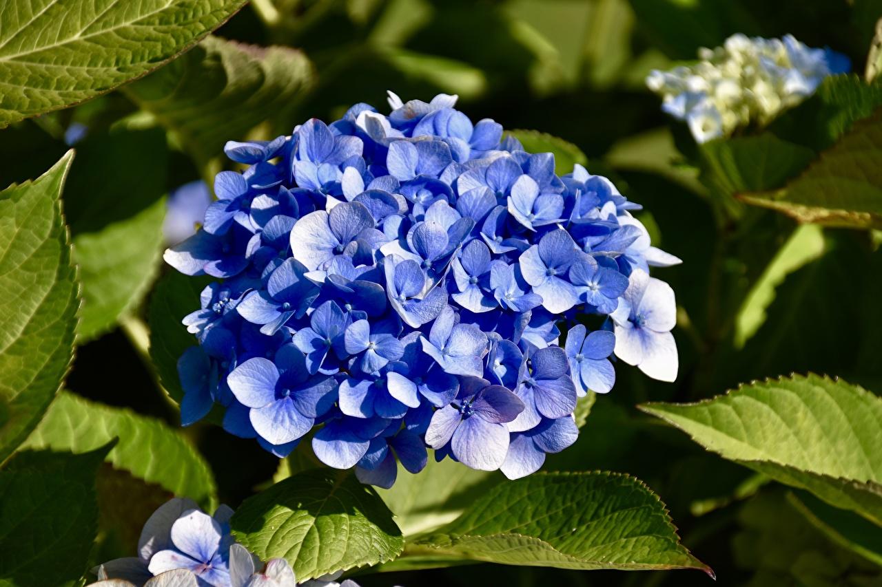 Обои для рабочего стола Синий Цветы Гортензия Крупным планом синяя синие синих цветок вблизи