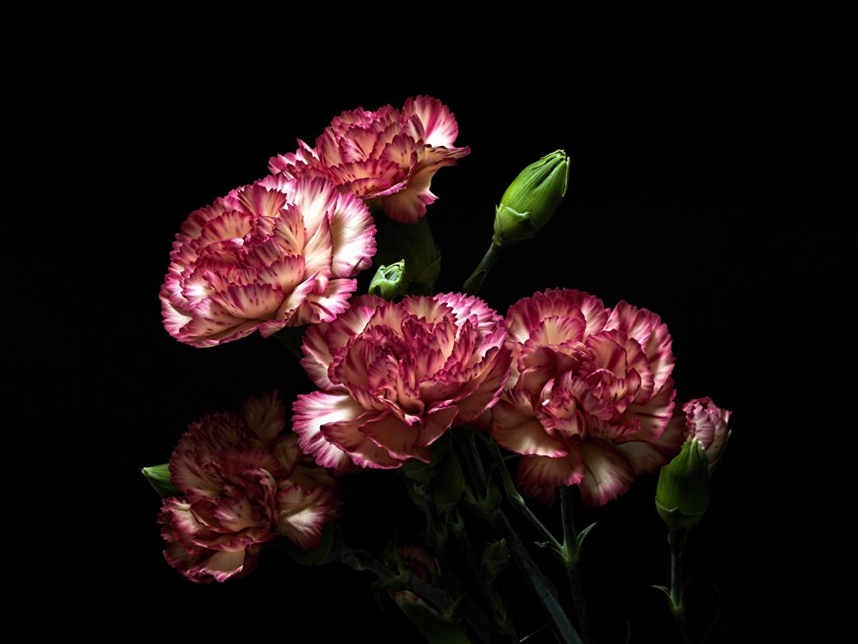 Обои для рабочего стола Цветы Гвоздики Бутон на черном фоне Крупным планом цветок гвоздика вблизи Черный фон