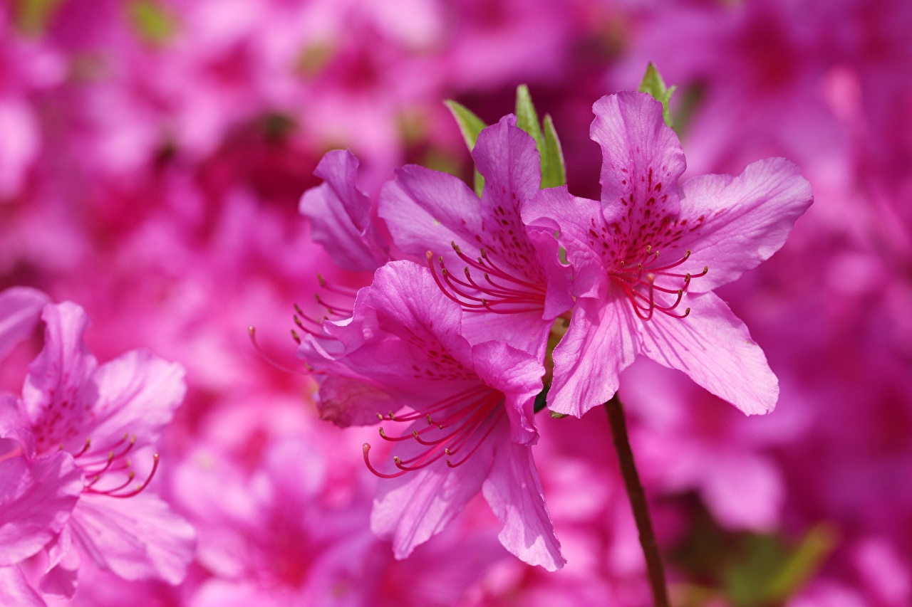 Картинки Rhododendron (Azalea) розовых цветок вблизи розовая розовые Розовый Цветы Крупным планом