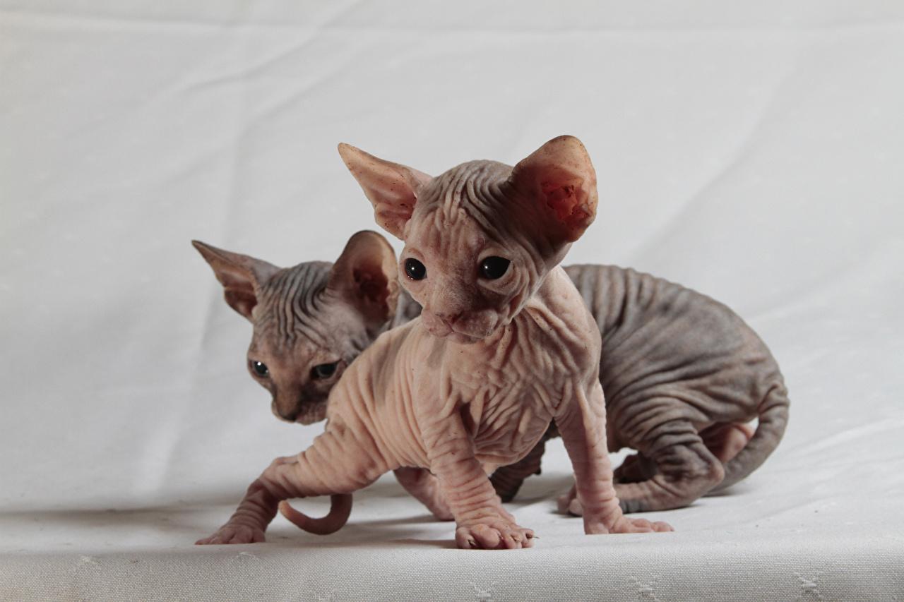 Картинки Котята Сфинкс кошка Кошки Двое Животные