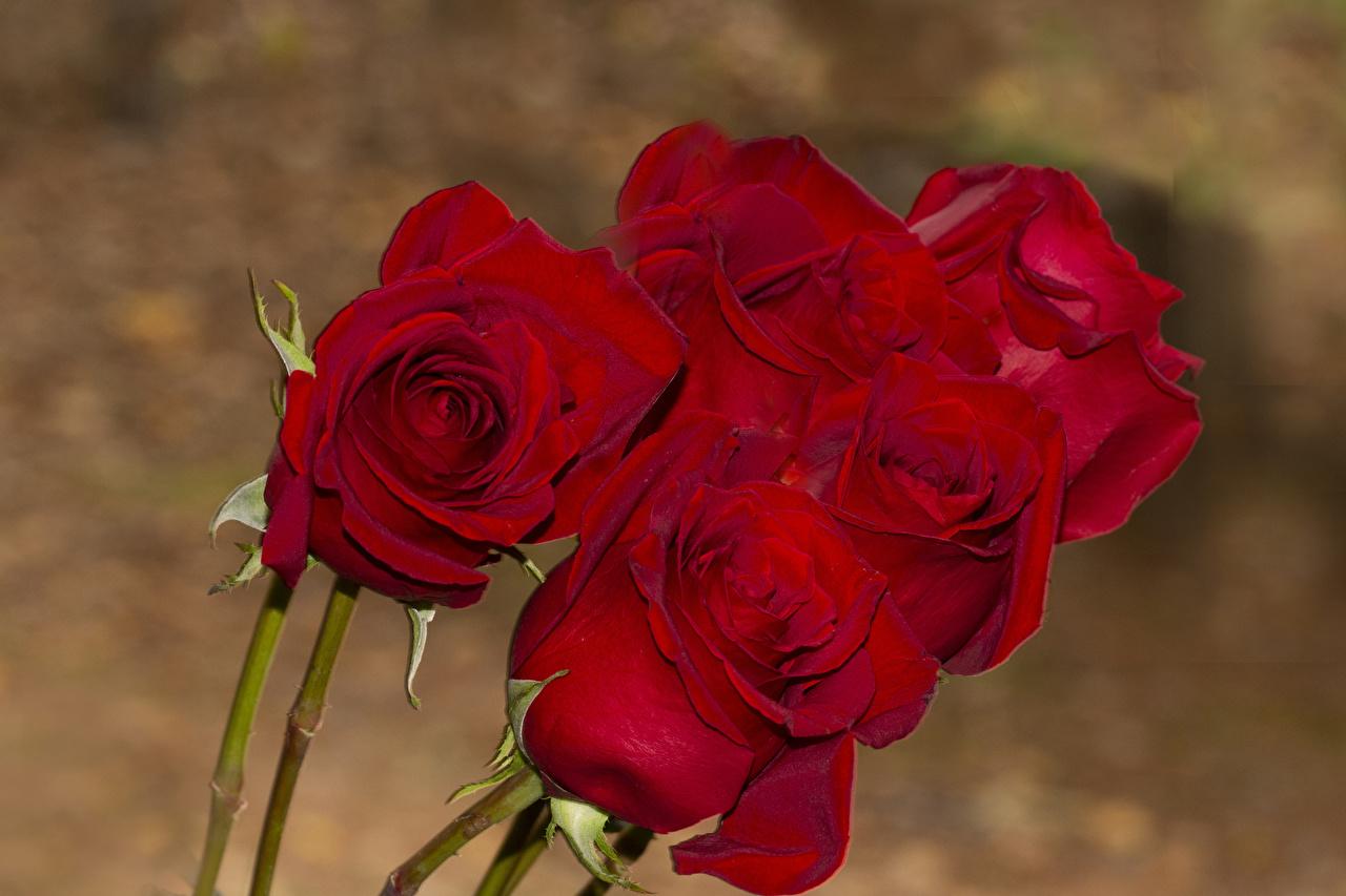 Фото Розы красных цветок роза Красный красная красные Цветы