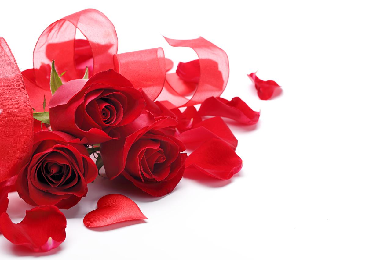 Обои Сердце Розы Красный Лепестки Цветы втроем Белый фон сердечко Трое 3