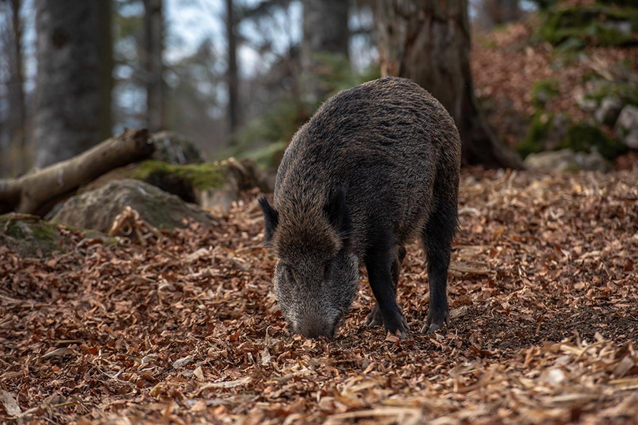 Фото Кабан Листья боке Осень животное дикая свинья лист Листва Размытый фон осенние Животные