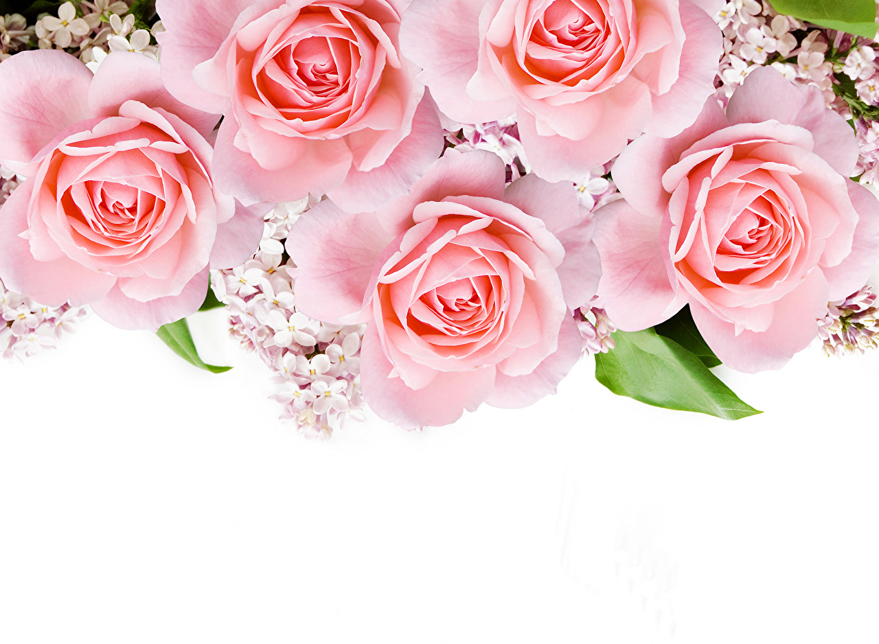 Фотография Розы Розовый цветок Крупным планом роза розовая розовые розовых Цветы вблизи
