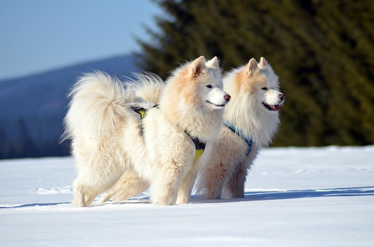 Обои Самоедская собака Собаки Двое Зима Снег смотрит Животные 2 вдвоем зимние Взгляд