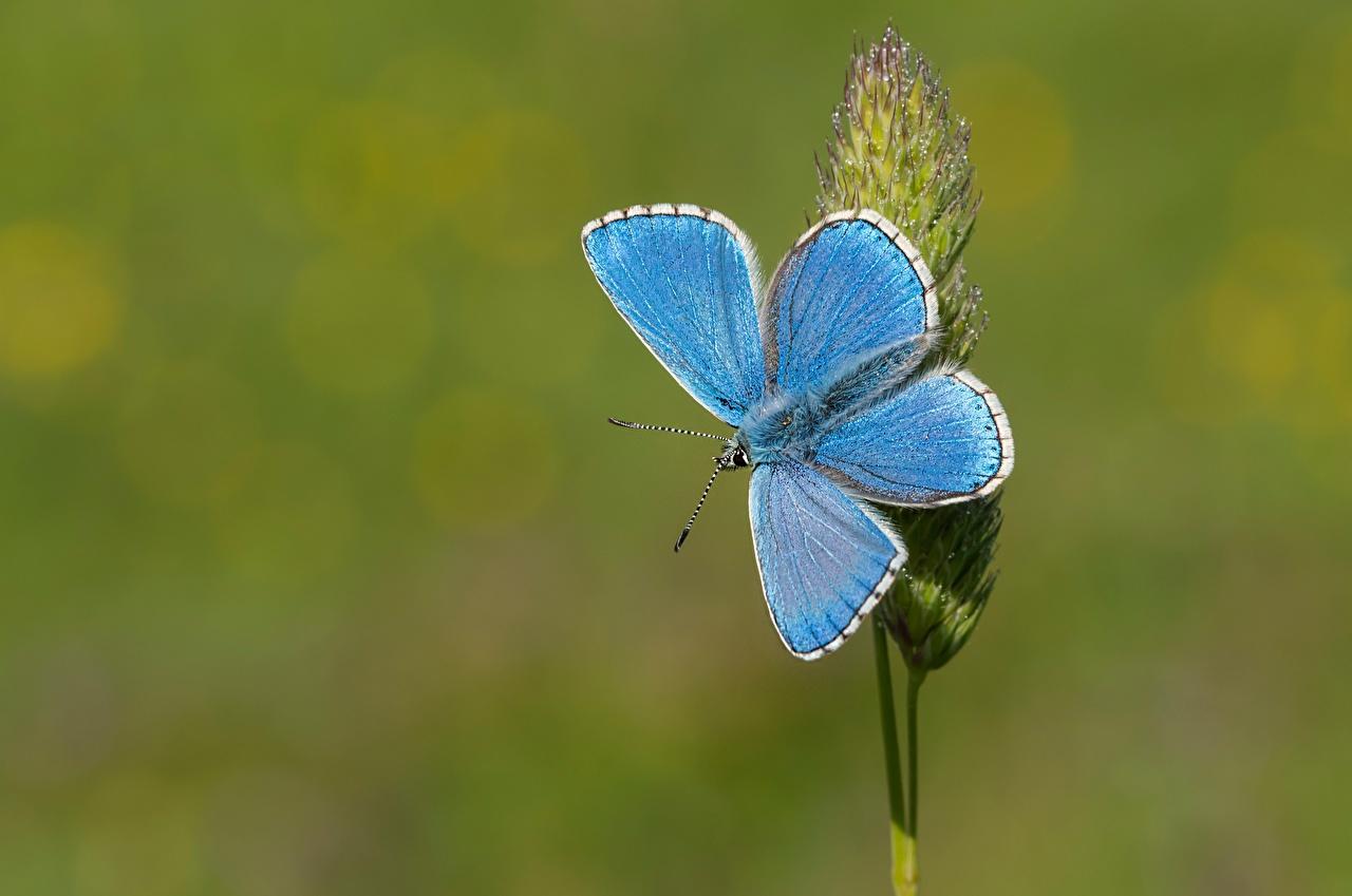 Фото Бабочки Adonis blue Голубой животное Крупным планом бабочка голубая голубые голубых вблизи Животные