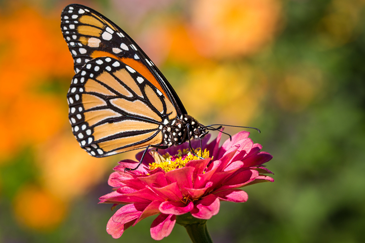 Обои для рабочего стола Данаида монарх бабочка насекомое Размытый фон Животные Бабочки Насекомые боке животное