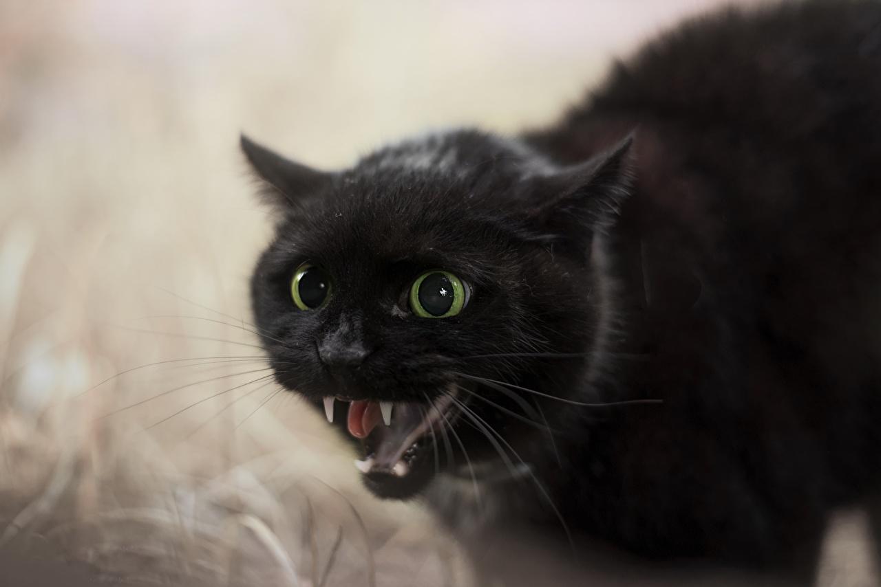 Фотография кот Клыки черных злой морды Животные коты Кошки кошка Черный черные черная рычит Оскал злость Морда животное